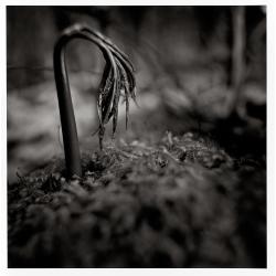 Plante naissante sur les bords du Chavanon